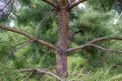 Green Spruce Tree Branches Stock Photos