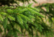 Green spruce tree branches. Fresh green spruce tree branches close-up stock images