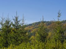 Green spruce tree forest and autumn colored forest on the hill w Royalty Free Stock Photography