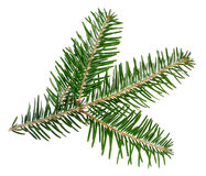 Green spruce twig Royalty Free Stock Images