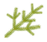 Green spruce twig Royalty Free Stock Photo