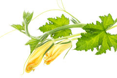 Green squash branch with leaves and yellow blossoms Royalty Free Stock Photo