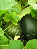 Green squash in the field among the leaves royalty free stock images