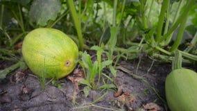 Green squash in garden. Fresh green squash laying on vegetable garden ground, sliding camera movement stock footage