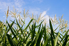 Green stalks of corn in a field at sunny summer day Royalty Free Stock Photo