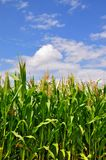 Green stalks of corn under clouds Royalty Free Stock Photo