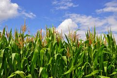 Green stalks of corn under clouds Royalty Free Stock Images