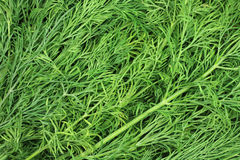 Green stalks of dill background Stock Image