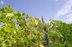 Green stalks of a string bean Royalty Free Stock Photos