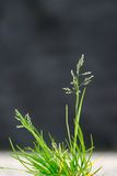 Green stalks of the wild blossoming grass Stock Images