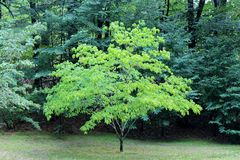 Green Standout Tree Royalty Free Stock Image