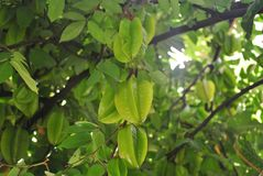 Green star Fruit tree Royalty Free Stock Image