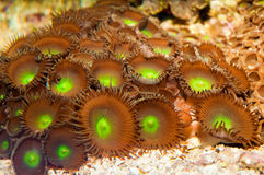 Green Star Polyp Royalty Free Stock Images