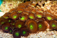 Green Star Polyp Royalty Free Stock Photos