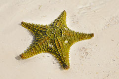 Green Starfish Stock Images