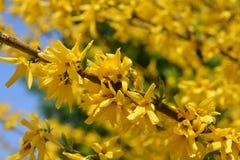 Green-stem forsythia. Latin name - Forsythia viridissima royalty free stock photography