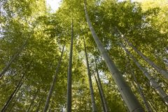 Green stems of bamboo forest royalty free stock photo