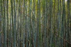Green stems of bamboo forest stock photo
