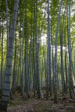 Green stems of bamboo forest royalty free stock images