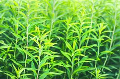 Green Stems of European Goldenrod, Solidago Virgaurea, or Woundwort in Midsummer. A Garden Flower with Astringent, Diuretic,. Antiseptic and Other Properties stock photography