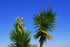 Green stems of palm trees. With ripe seed capsules with a blue sky in the background Stock Photos