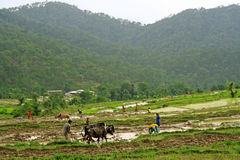 Green step farming and rice cultivation in rural h Stock Photos