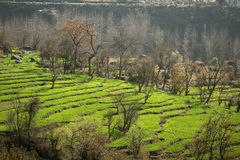 Green step farming in rural himalayan region. Verdant rich step farming in Dharamsala region of  Kangra Vallley, Himachal Pradesh , India Royalty Free Stock Photo