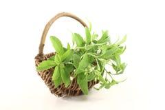 Green Stevia Royalty Free Stock Photo