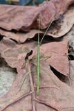 Green stick bug aka Ramulus artemis,aka Vietnamese stick insect. A green stick insect wonders the jungle floor looking for food or a fight stock images