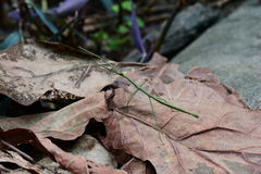 Green stick bug aka Ramulus artemis,aka Vietnamese stick insect. A green stick insect wonders the jungle floor looking for food or a fight royalty free stock photography
