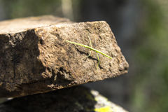 Green Stick insect hiding on stone Royalty Free Stock Images