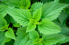 Green stinging nettle Stock Photo