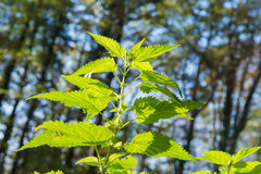Green stinging nettle Stock Photography