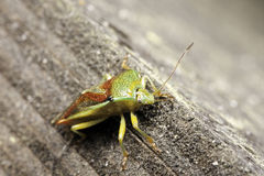 Green stink bug. A macro photo of a Green Stink Bug / Green Soldier Bug / Acrosternum Hilare stock photo