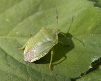 Green stink bug Stock Photography