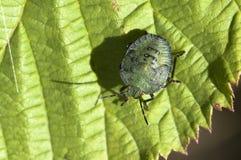 Green stink bug Royalty Free Stock Photo