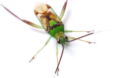 Green Stink Bug Stock Image