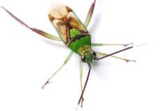 Green Stink Bug Stock Image