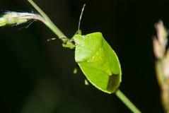 Green Stink Bug. On a blade of grass stock photos