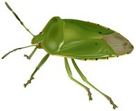 Green Stink Bug Stock Photos