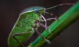 Green stink bug macro.  Royalty Free Stock Photo