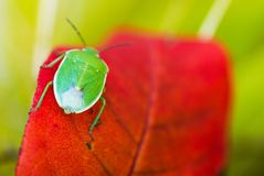 Green Stink Bug Macro Royalty Free Stock Images