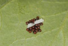 Green Stink Bug Nymphs Stock Photos