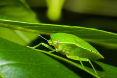 Green stink bug or shield bug (Nezara viridula). Royalty Free Stock Photos
