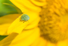 Green stink bug Royalty Free Stock Photography