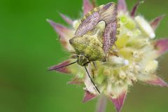 Green Stink bug to flower Royalty Free Stock Photo