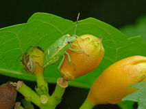 Green Stink Bug on Trumpet Vine Bud Stock Photo