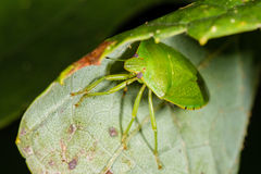 Green Stink bug with yellow stripe Royalty Free Stock Images