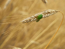Green stink bugs on wheat Royalty Free Stock Image