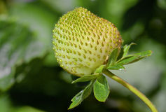 Green strawberrie growing on a plant Royalty Free Stock Image